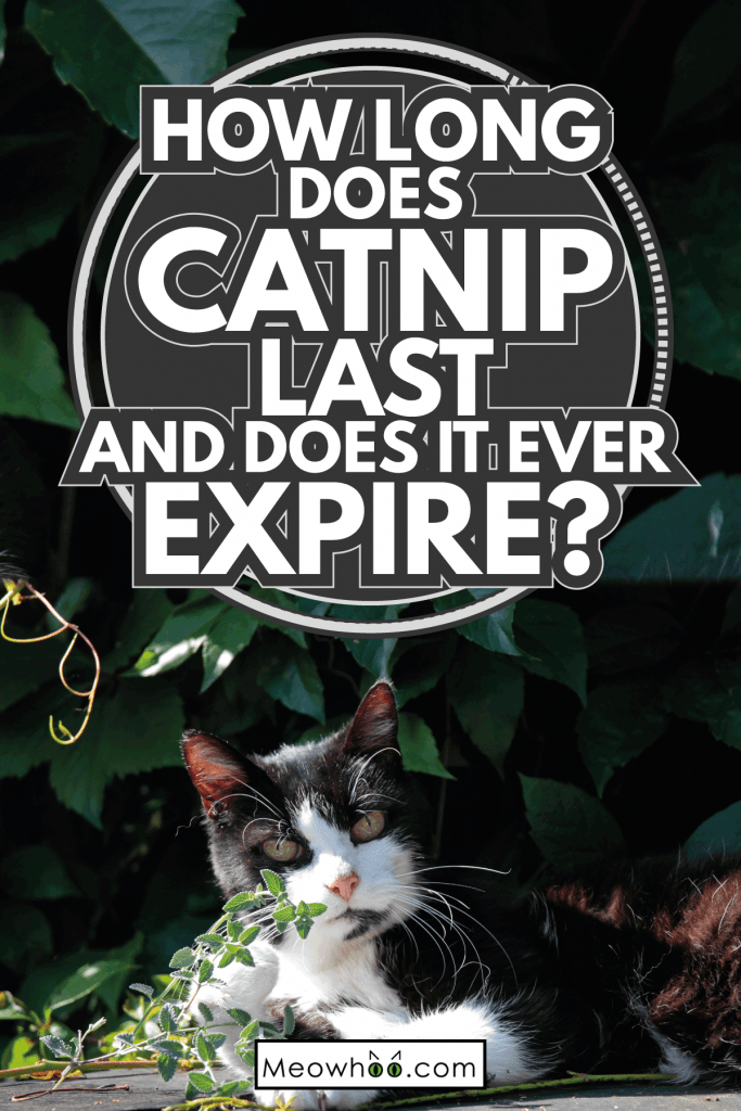 Cat with catnip mint. How Long Does Catnip Last And Does It Ever Expire