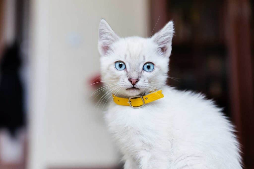 Gray kitten with blue eyes in yellow collar