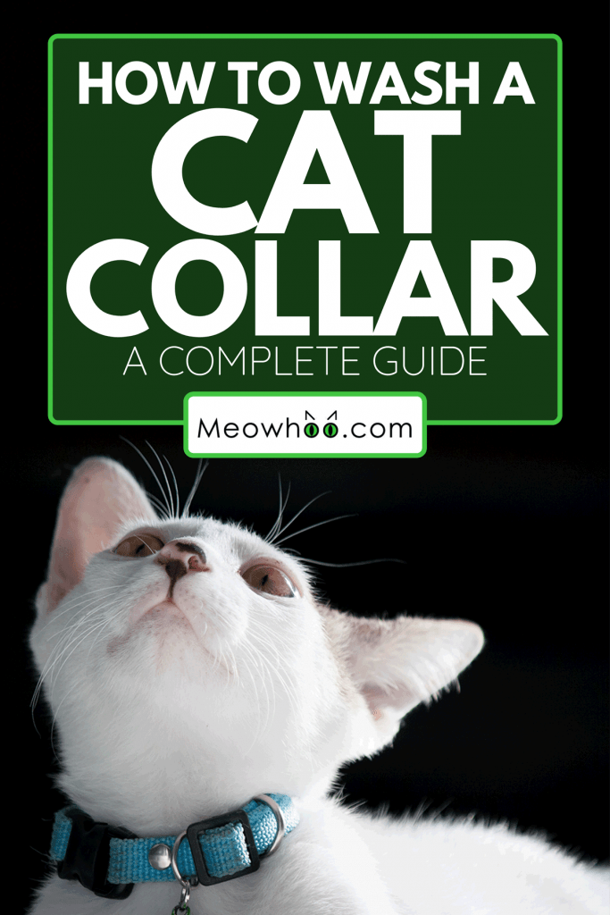 A pretty cat with collar on black background, How To Wash A Cat Collar [A Complete Guide]