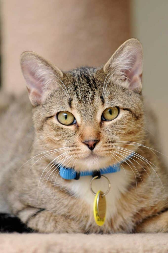 Indoor cat with collar and ID tags