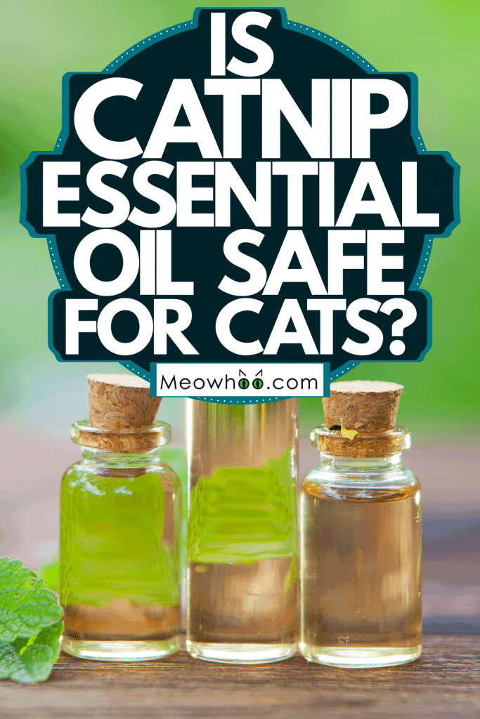 Catnip essential oil on the table, Is Catnip Essential Oil Safe For Cats?