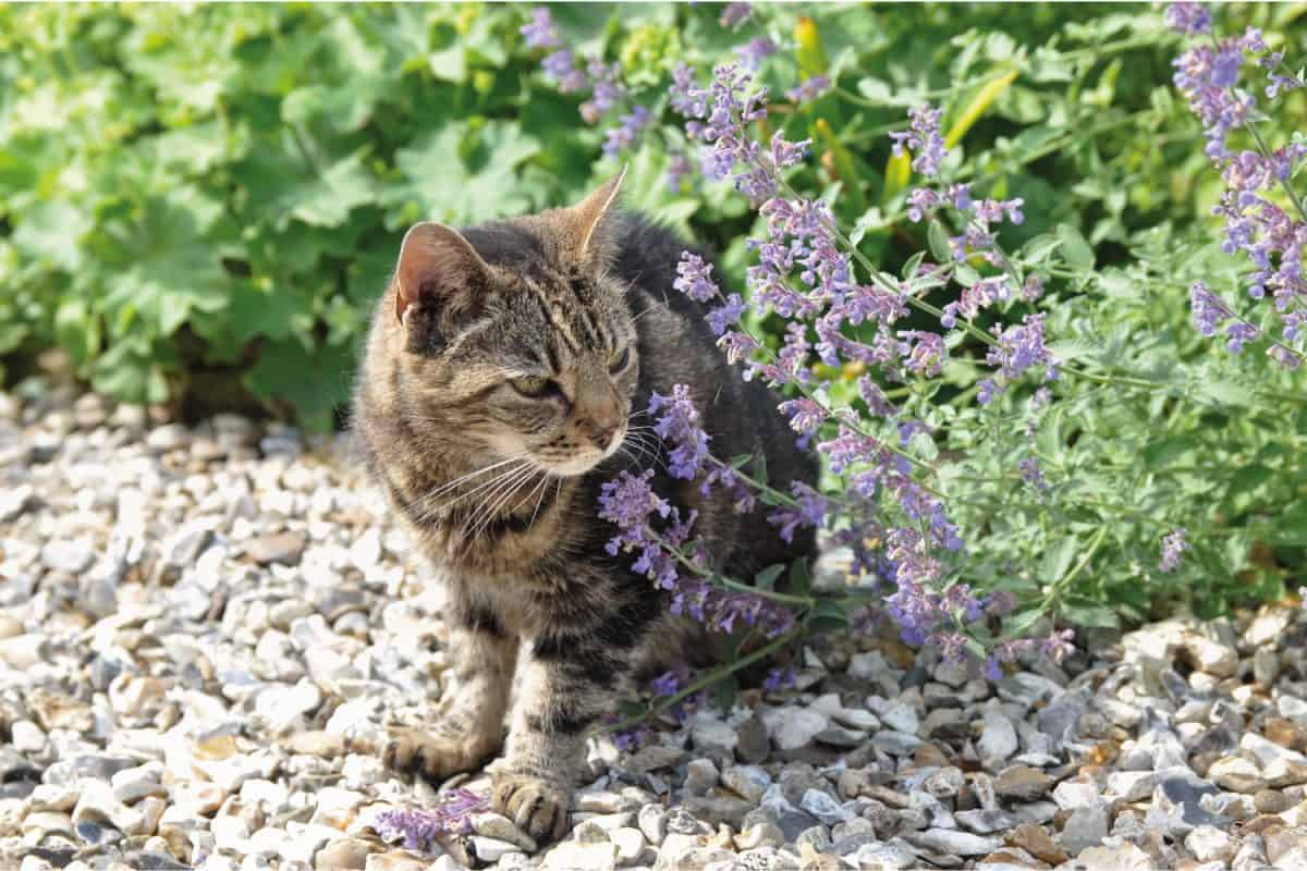 Lovely old tabby cat sitting in the garden among the nepeta its favorite plant.