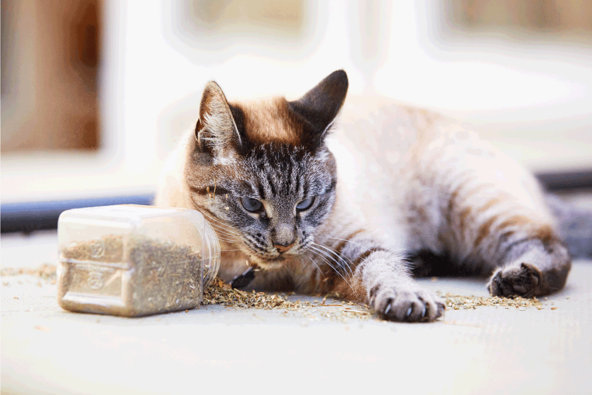 Siamese tabby cat flipped over a container with catnip and and sprinkled it all over