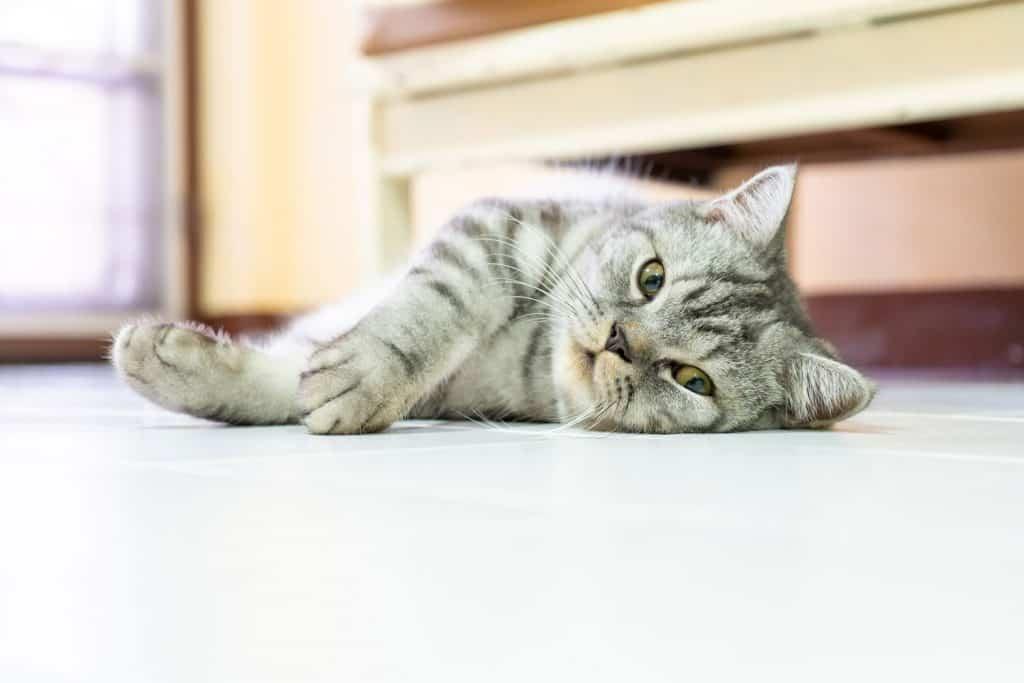 A cute American shorthair cat lying on the floor