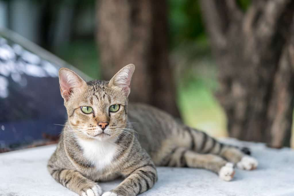 A fierce looking American shorthair looking at the camera