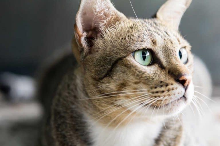 American shorthair cat sitting on the floor, Do American Shorthair Cats Shed A Lot?