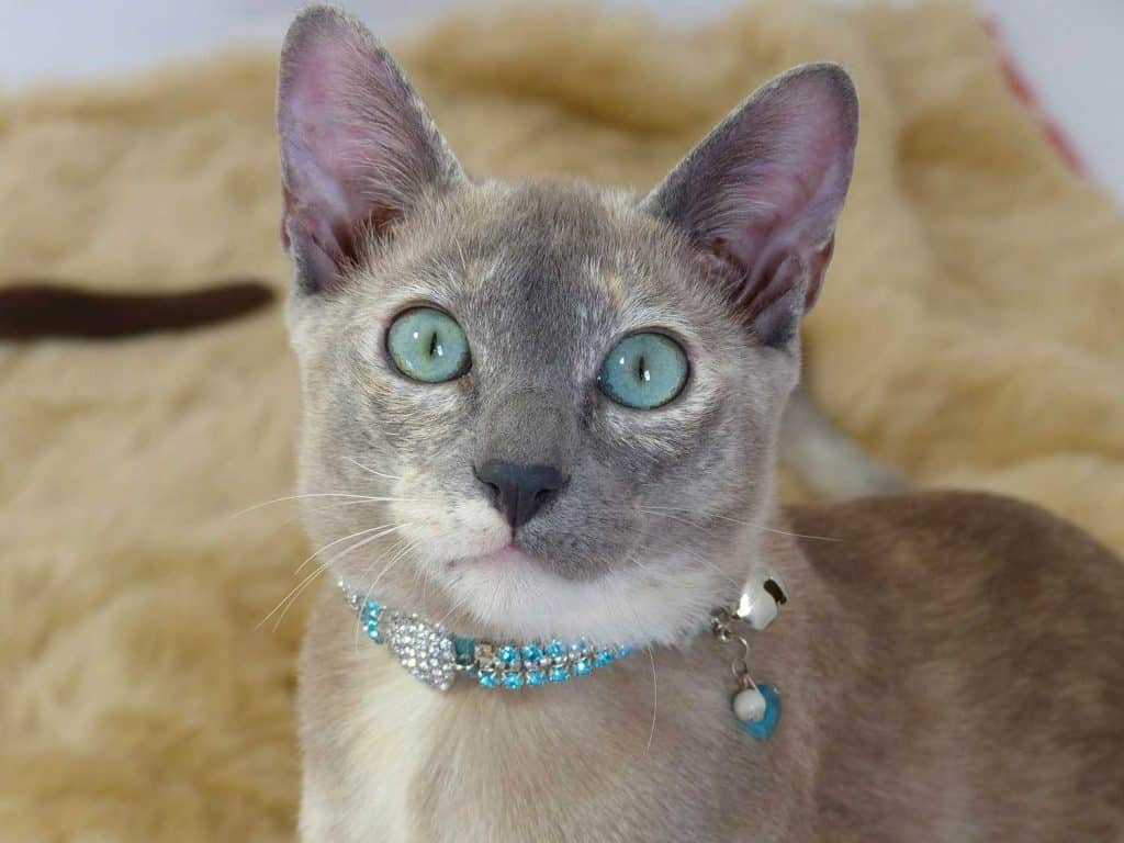 Beautiful blue Tonkinese cat staring at the camera