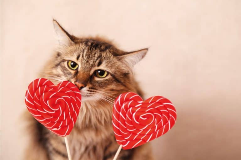 Beautiful fluffy cat sniffs a heart-shaped Lollipop on a beige background. Should A Cat Be Rewarded With A Sugary Treat