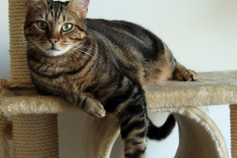 Brown tabby cat on its tree, 11 Types Of Cat Trees You Should Know
