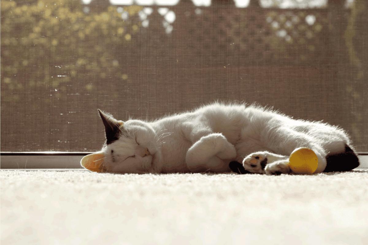 Cat Sleeping in the Sunshine