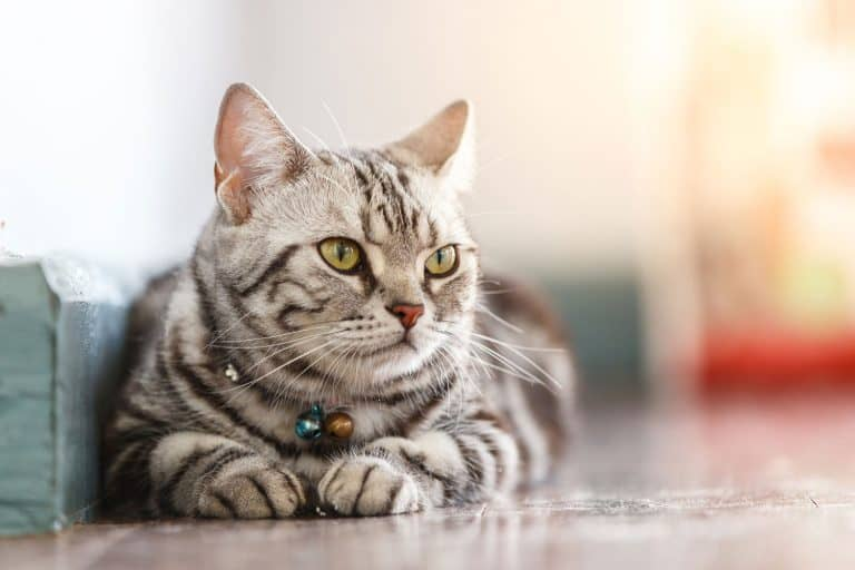 Close up american short hair cat sleeping on the floor, How Long Do American Shorthair Cats Live?