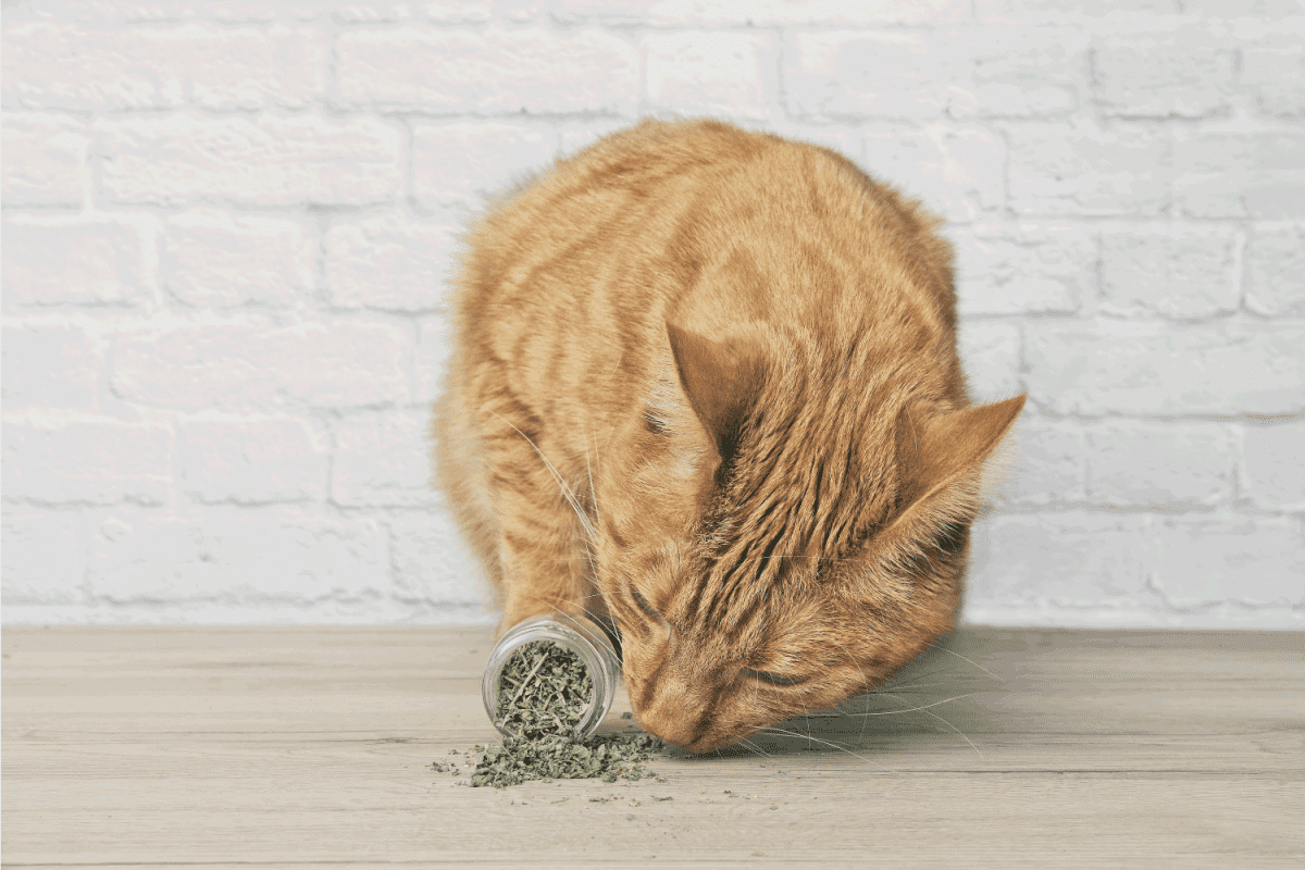 Cute ginger cat sniffing on dried catnip.