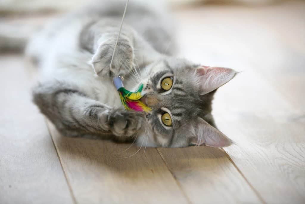 Cute gray cat playing by himself