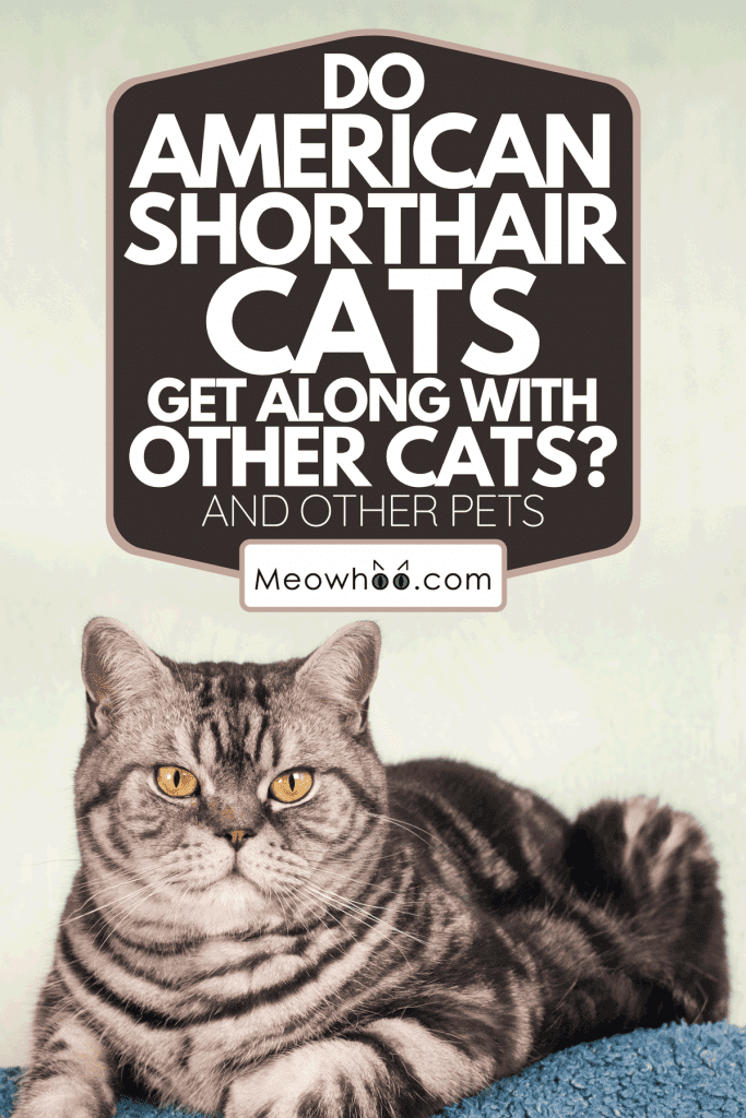 A full body portrait of American Shorthair Cat, Do American Shorthair Cats Get Along With Other Cats? [And Other Pets]