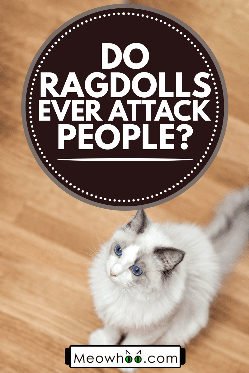 Ragdoll Cat Looking Up and Away, Do Ragdolls Ever Attack People?