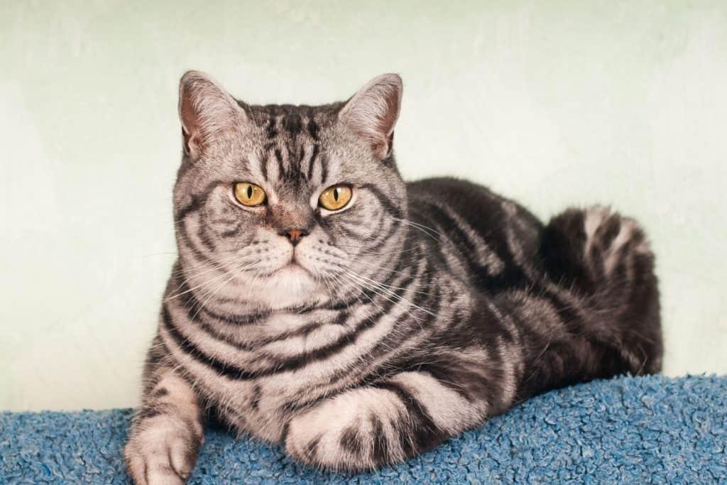 Fierce looking American shorthair cat looking at the camera
