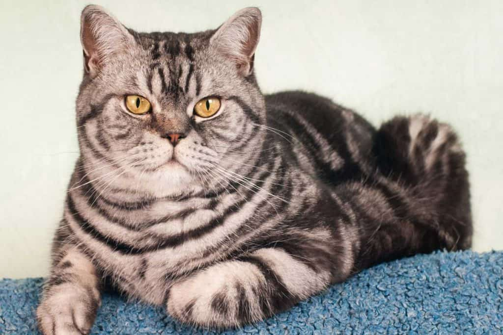 Full body portrait of American Shorthair Cat, Do American Shorthair Cats Get Along With Other Cats? [And Other Pets]