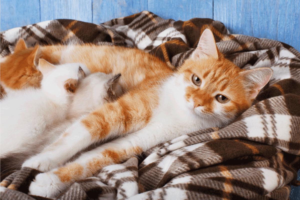 Ginger cat breastfeeding her little kittens. Motherhood, parenting, care. Orange cat nursing kittens at plaid blanket and blue rustic wood background