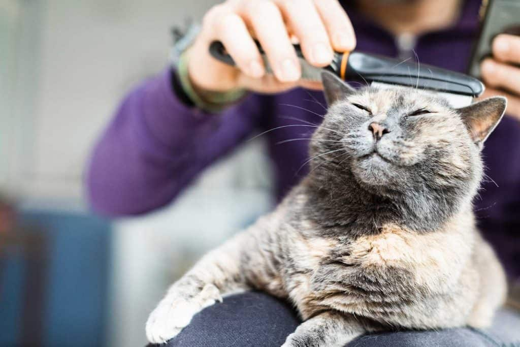 Man brushing domestic cat with comb
