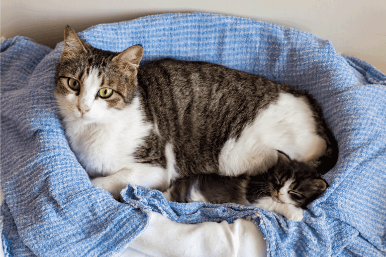 Pet animal; cute cat, baby cat with adult cat. Can Nursing Cats Have Catnip