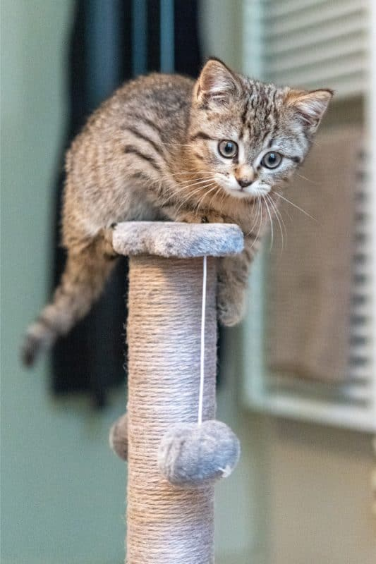 Portrait of a cute little kitten playing at home. How Big Do American Shorthair Cats Get