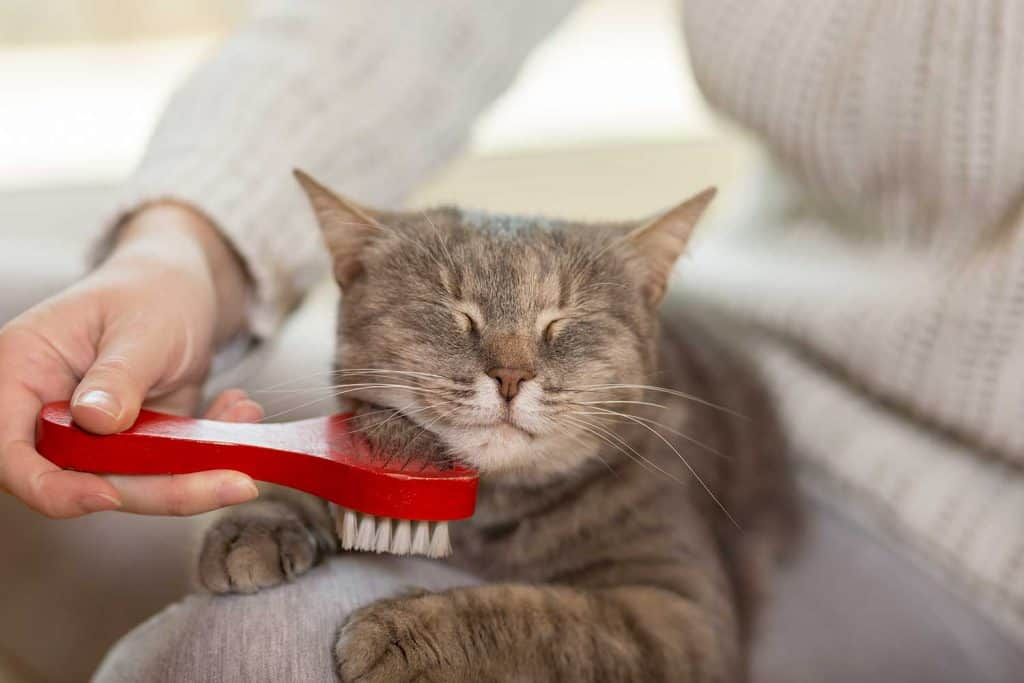 Tabby cat being brushed and combed