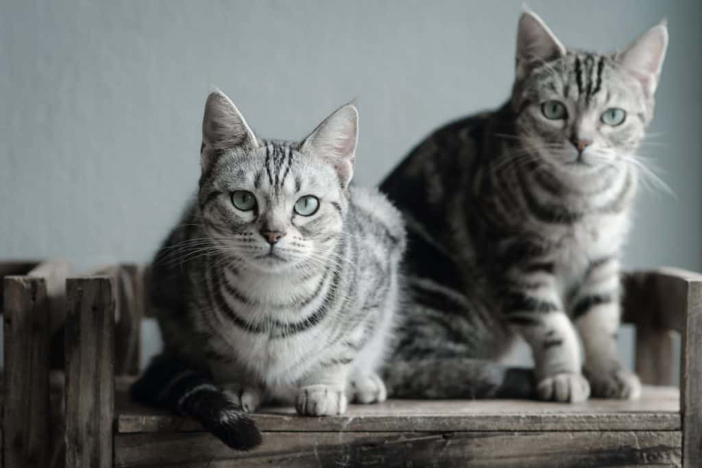 Two cats sitting on old wood shelf. How Big Do American Shorthair Cats Get