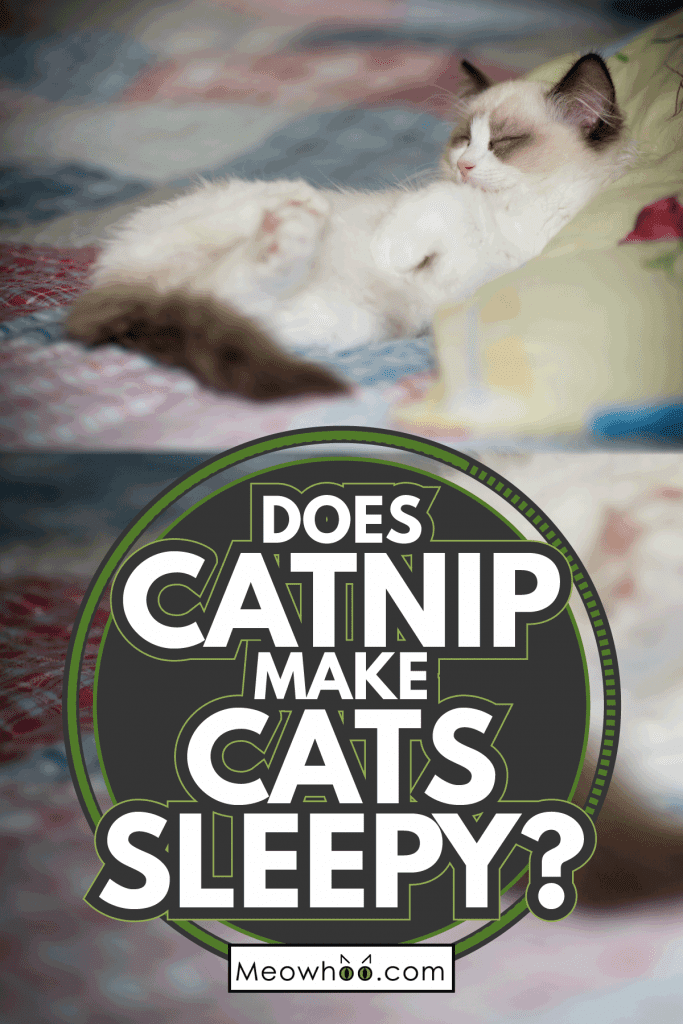 Two month old Ragdoll kitten at home. Does Catnip Make Cats Sleepy