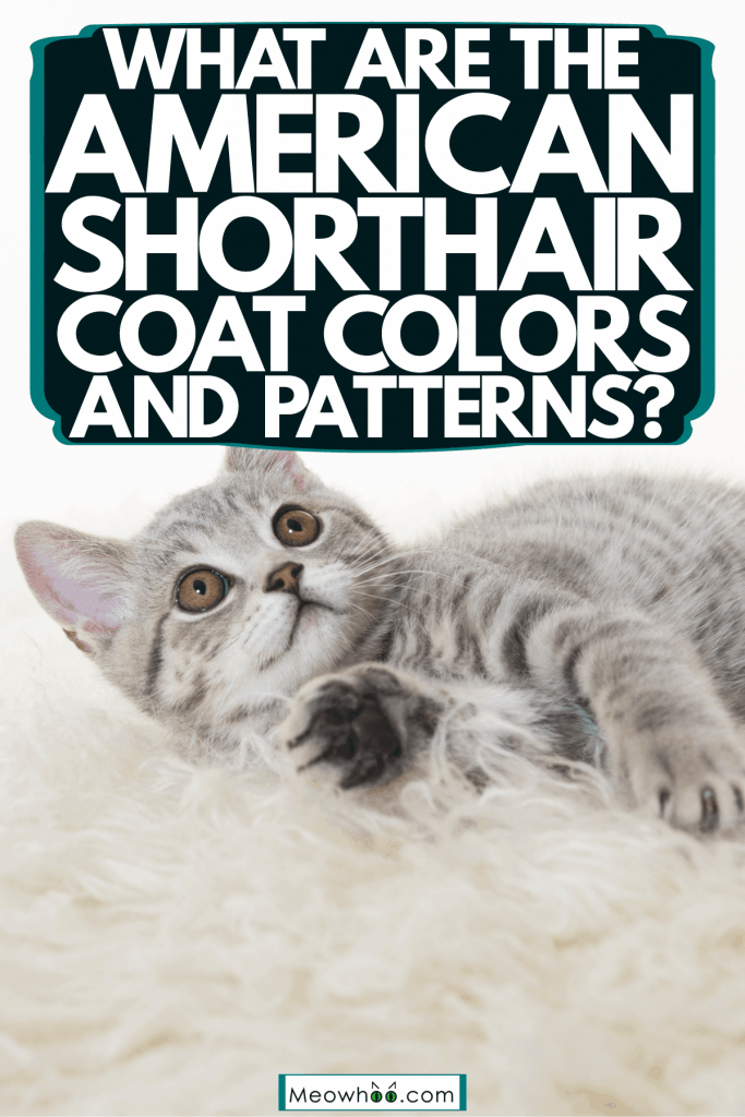 A little gray American shorthair cat lying on the carpet, What Are The American Shorthair Coat Colors And Patterns?