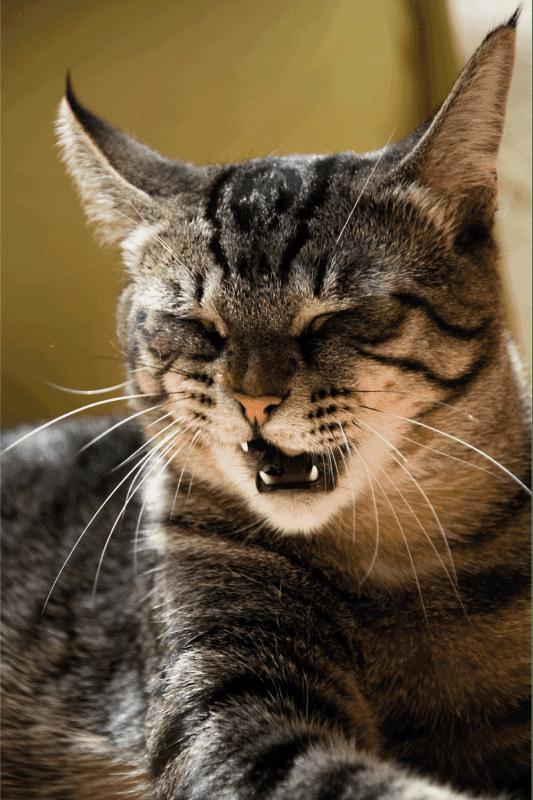 Does Catnip Make Cats Sneeze