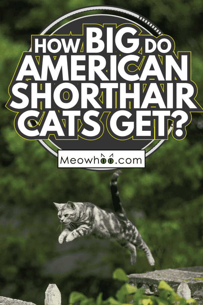 american shorthair cat leaping from rock to rock. How Big Do American Shorthair Cats Get