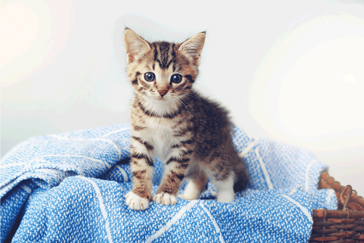 shot of an adorable tabby kitten sitting on a soft blanket in a basket