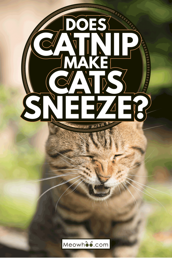 sneezing cat close up photo. Does Catnip Make Cats Sneeze