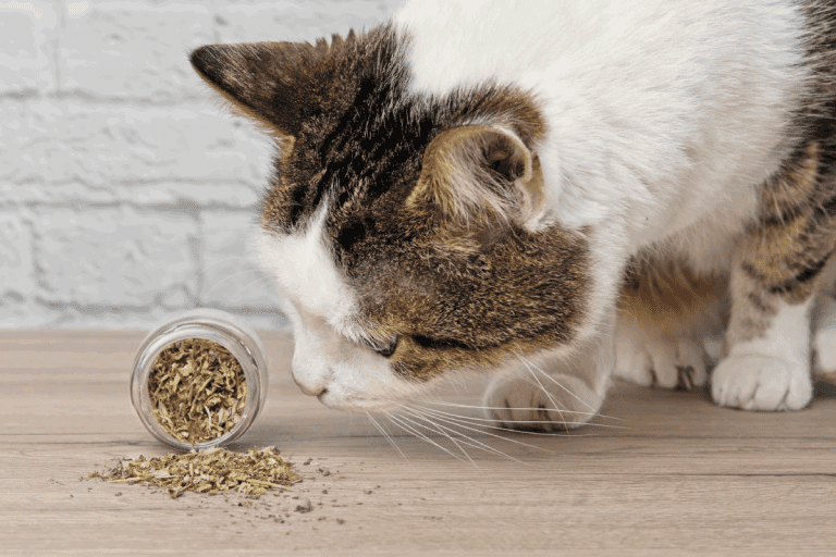 tabby cat enjoying spilled dried catnip. Does Catnip Make Cats Sleepy