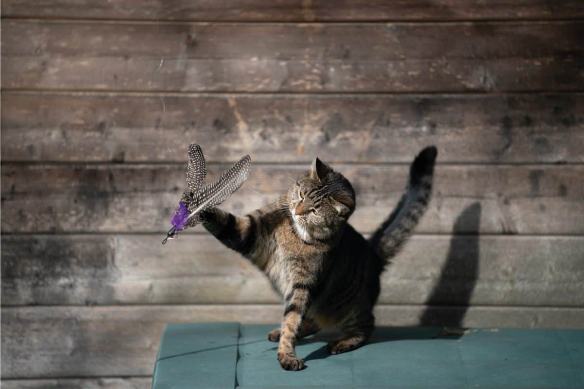 tabby domestic shorthair cat playing with feather toy outdoors in sunlight